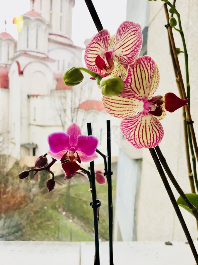 I ` m so stolz meine schöne purpurrote Orchideenblume lizenzfreie stockfotos