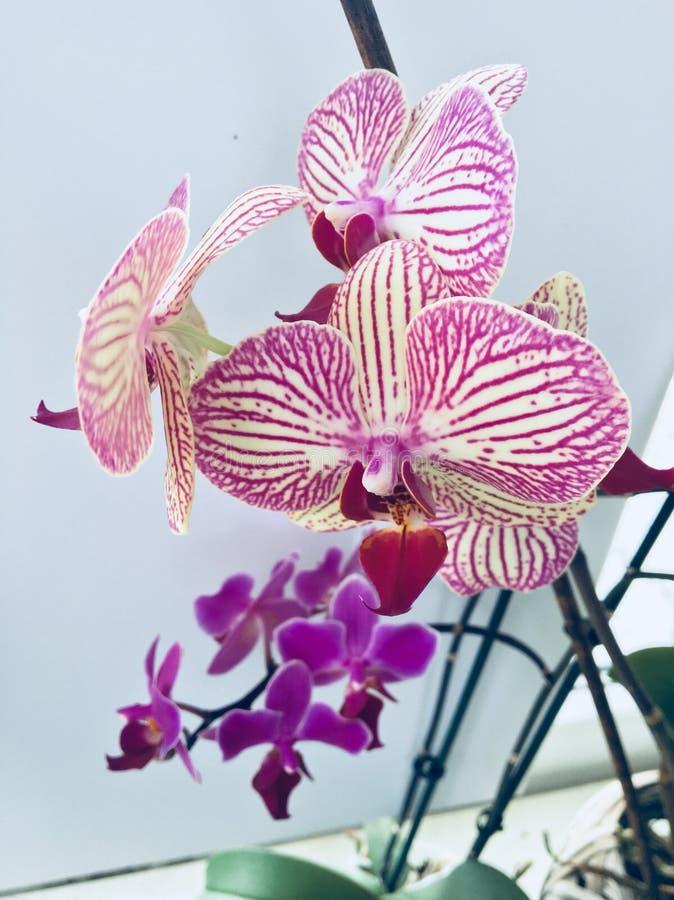 I ` m so stolz meine schöne purpurrote Orchideenblume stockfotos