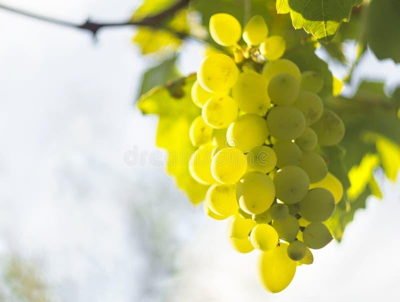 I mazzi di uva bianca maturano sotto il sole delicato dell'estate sull'isola greca di Evia fotografie stock
