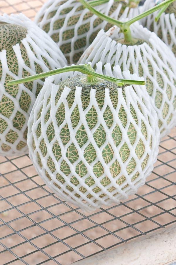 I meloni giapponesi raccolti del muschio hanno imballato con la rete protettiva della schiuma fotografia stock libera da diritti