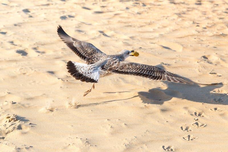 I michahellis di larus del gabbiano sta sorvolando la spiaggia con alimento in suo becco fotografie stock libere da diritti