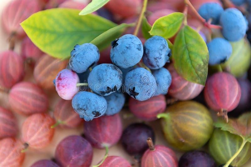 I mirtilli selezionati freschi con le uva spina si chiudono su fotografia stock libera da diritti