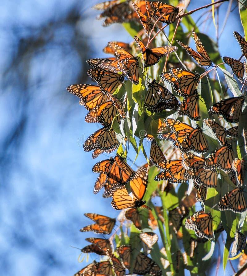 I monarchi ragruppano negli alberi di eucalyptus al parco di stato naturale dei ponti in Santa Cruz immagini stock