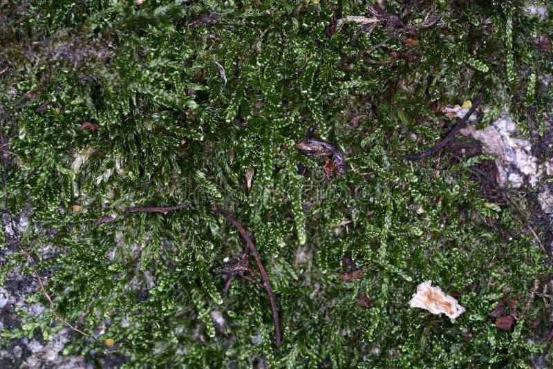 I muschi sono piante verdi terrestri che di solito non costituiscono un tessuto portante e conduttivo fotografia stock