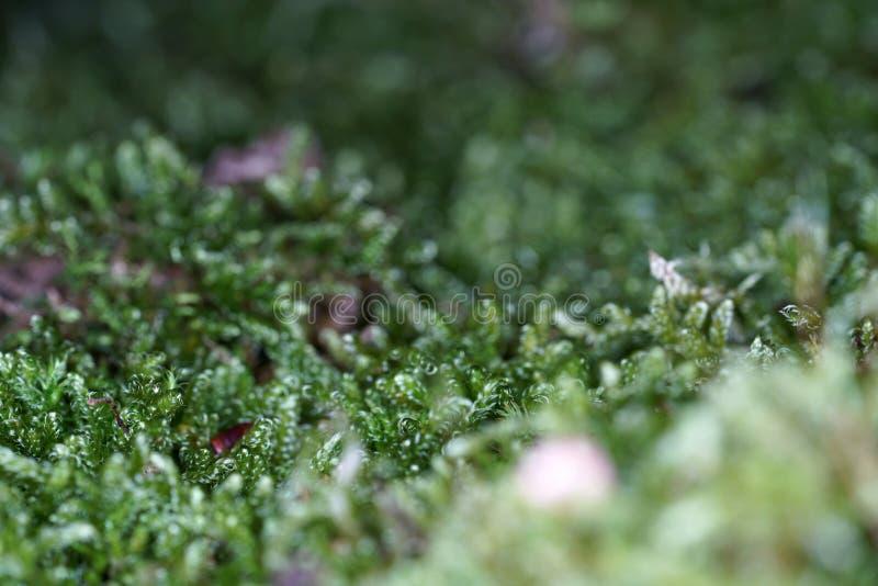 I muschi sono piante verdi terrestri che di solito non costituiscono un tessuto portante e conduttivo immagine stock libera da diritti