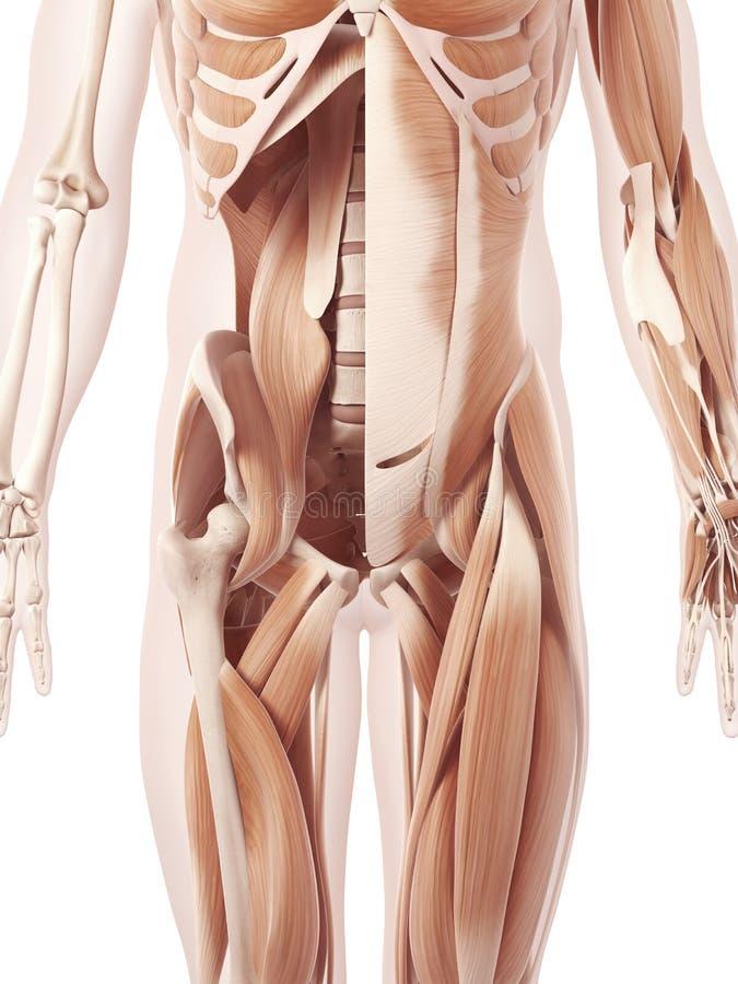 I muscoli addominali royalty illustrazione gratis
