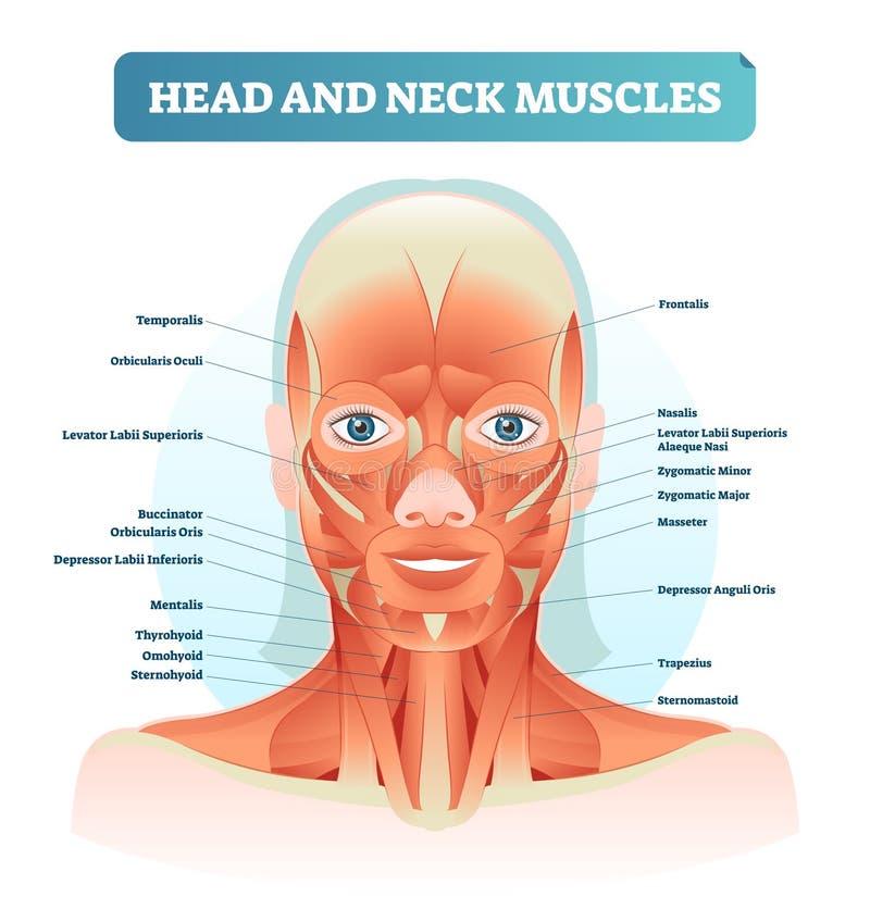 I muscoli del collo e della testa hanno identificato il diagramma anatomico, l'illustrazione facciale con il fronte femminile, in illustrazione di stock