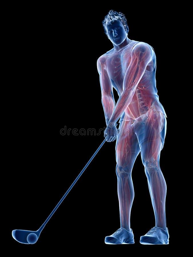 I muscoli di un giocatore di golf illustrazione di stock