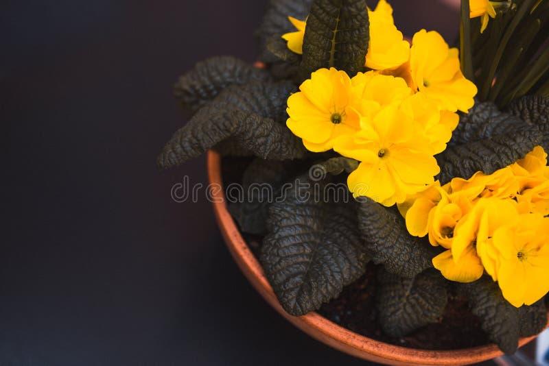 I narcisi gialli fioriscono in un vaso ceramico del vaso sulla tavola nera, vista superiore hanno visualizzato vicino ad una fine fotografie stock libere da diritti