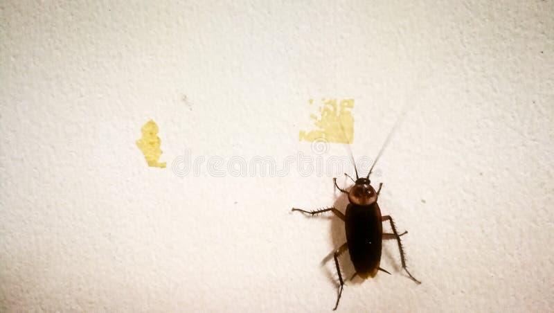 I natten gillar kackerlackor att gå ut att äta royaltyfria foton
