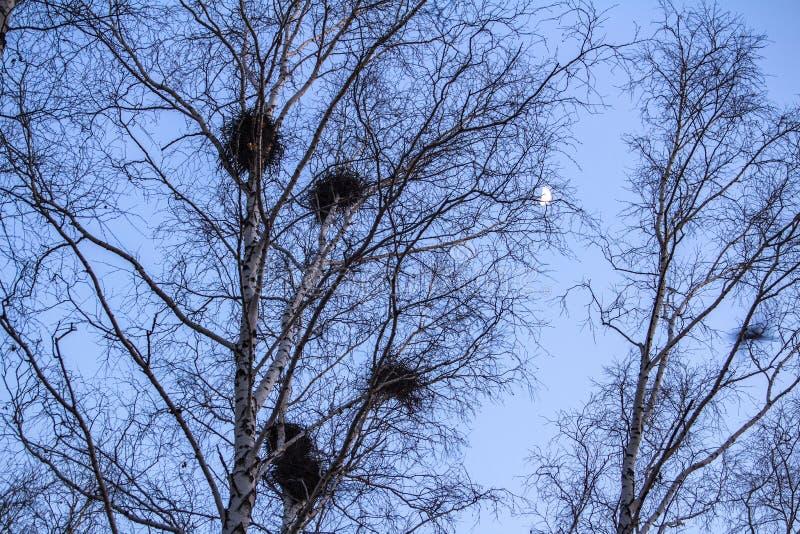 I nidi del corvo sulle betulle al tramonto ed alla luna fotografie stock