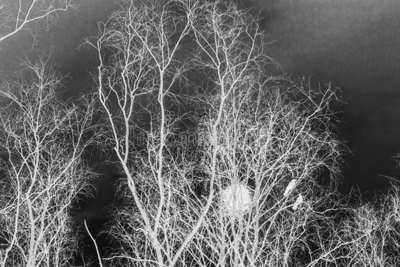 I nidi del corvo sulle betulle al tramonto ed alla luna immagini stock