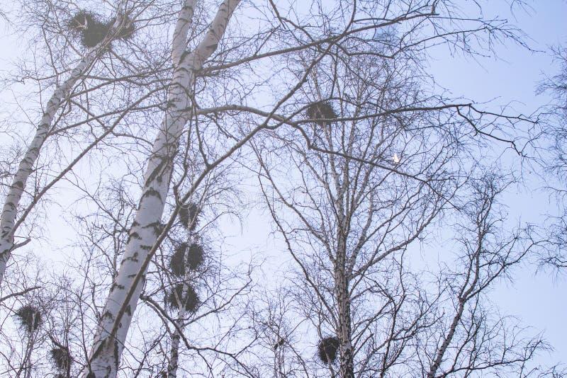 I nidi del corvo sulle betulle al tramonto ed alla luna fotografia stock