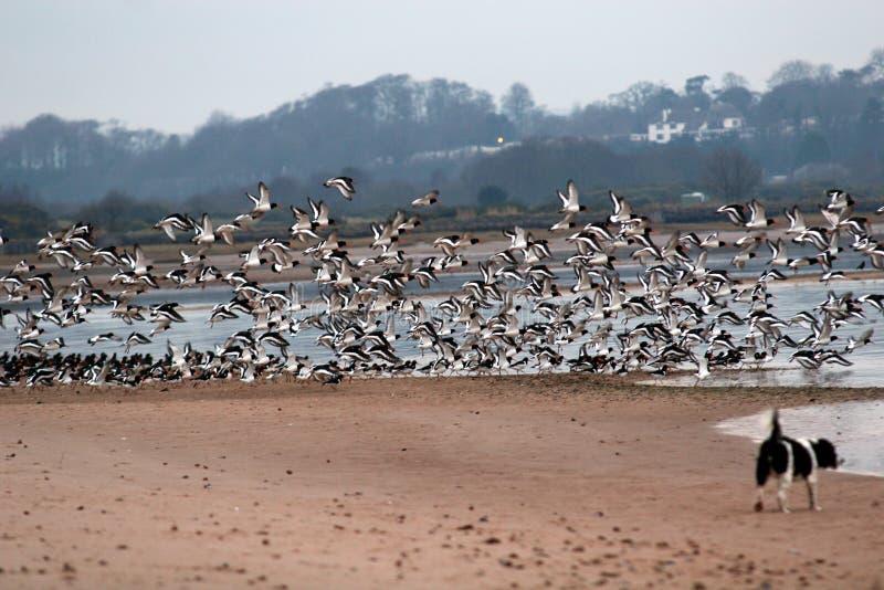 I Oystercatchers catturano il volo fotografie stock