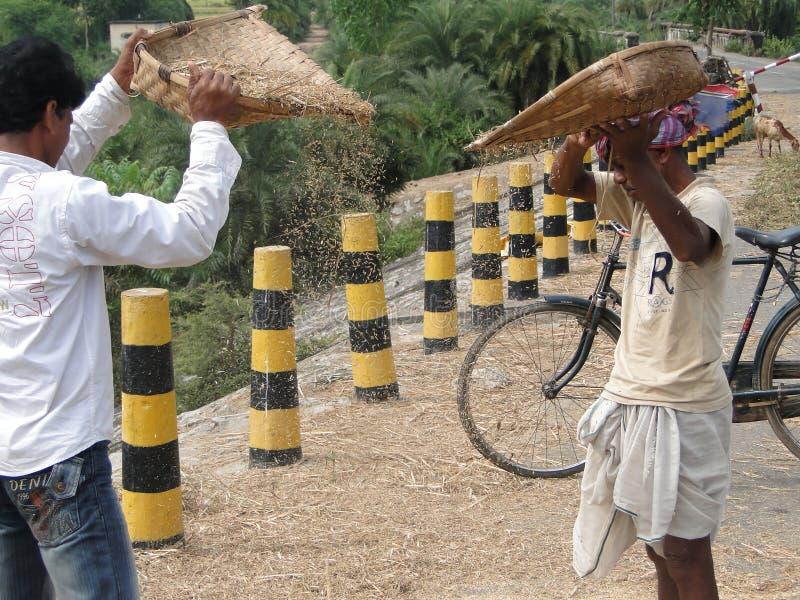I paesani indiani trebbiano il loro granulo fotografia stock libera da diritti
