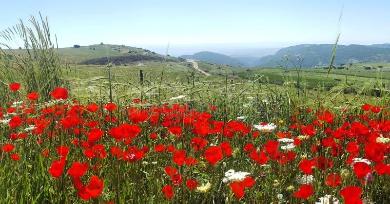 I papaveri della primavera rossa sistemano e la vista della Galilea nei precedenti, Israele fotografie stock libere da diritti