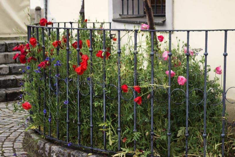 I papaveri ed i fiordalisi sbocciano sui fiori rossi e blu del letto di fiore, dopo la pioggia Primavera, fondo fotografia stock libera da diritti