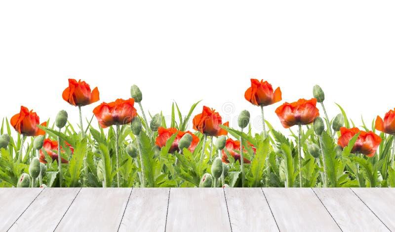 I papaveri rossi confinano e terrazzo di legno bianco, isolato su bianco fotografia stock libera da diritti