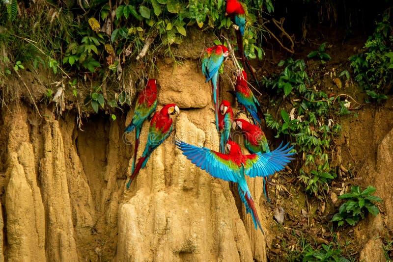 I pappagalli rossi su argilla leccano il cibo dell'ara rossa e verde dei minerali, in foresta tropicale, Brasile, scena della fau fotografie stock libere da diritti