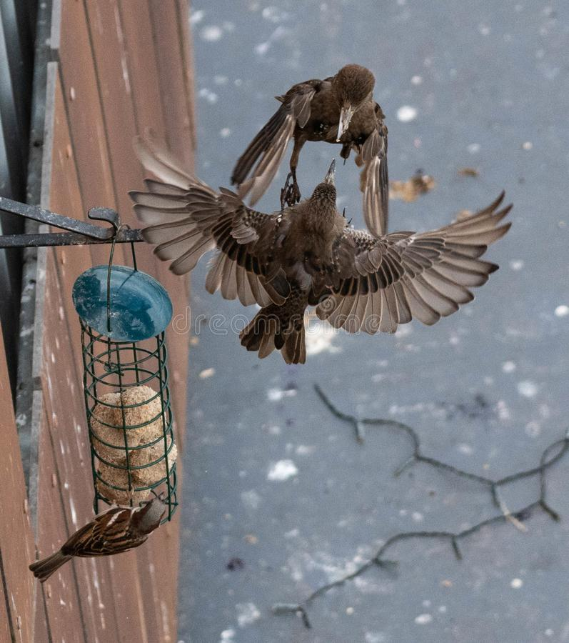 I passeri combattono sopra un alimentatore dell'uccello fotografie stock libere da diritti