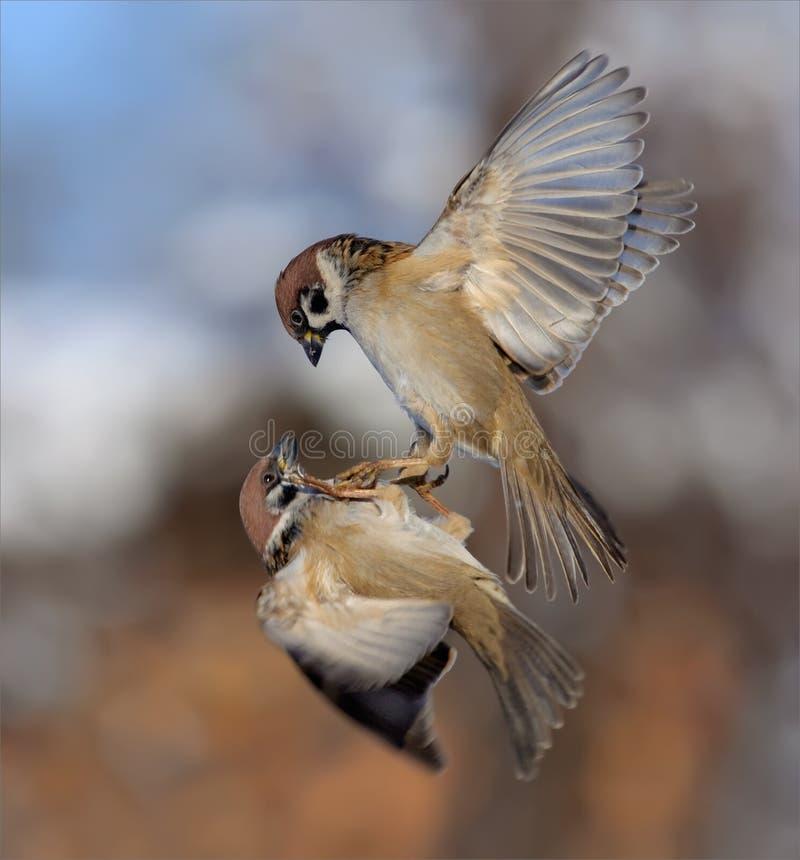 I passeri di albero euroasiatici combattono in aria immagine stock