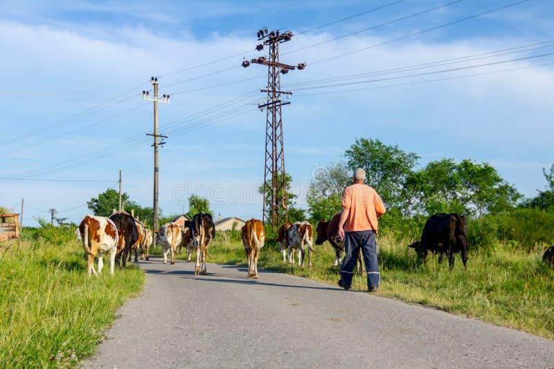 I pastori sono azionamento che un gregge del bloodstock intimorisce, camminando sul ro fotografie stock libere da diritti