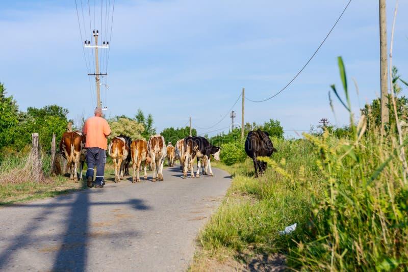 I pastori sono azionamento che un gregge del bloodstock intimorisce, camminando sul ro fotografia stock