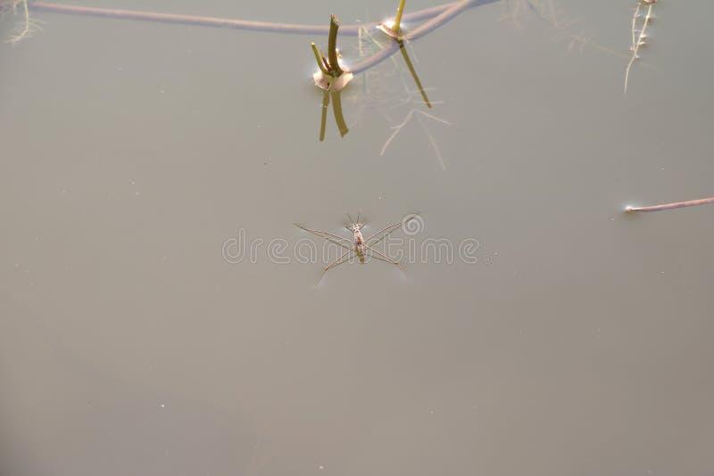 I pattinatori di stagno sulla superficie dell'acqua, l'acqua Striders è un insetto predatore snello fotografia stock
