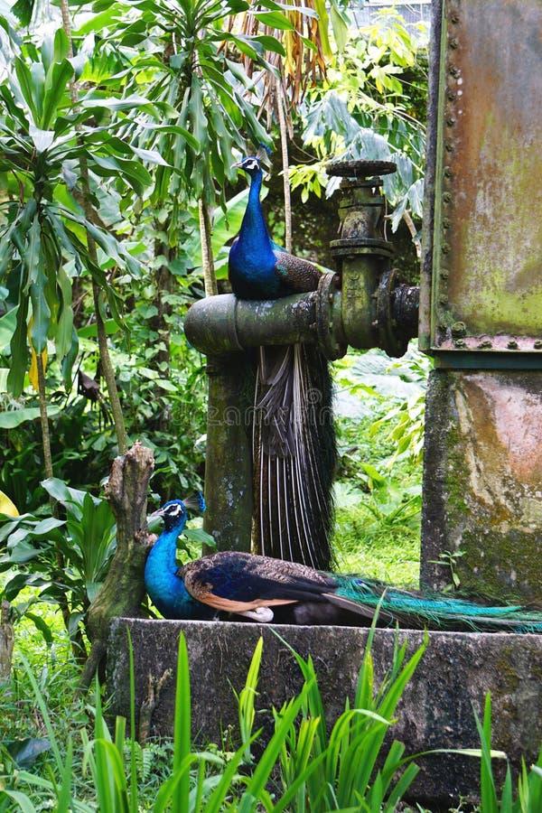 I pavoni bighellonano all'aperto sull'apparecchiatura arrugginita d'annata dello steampunk immagine stock