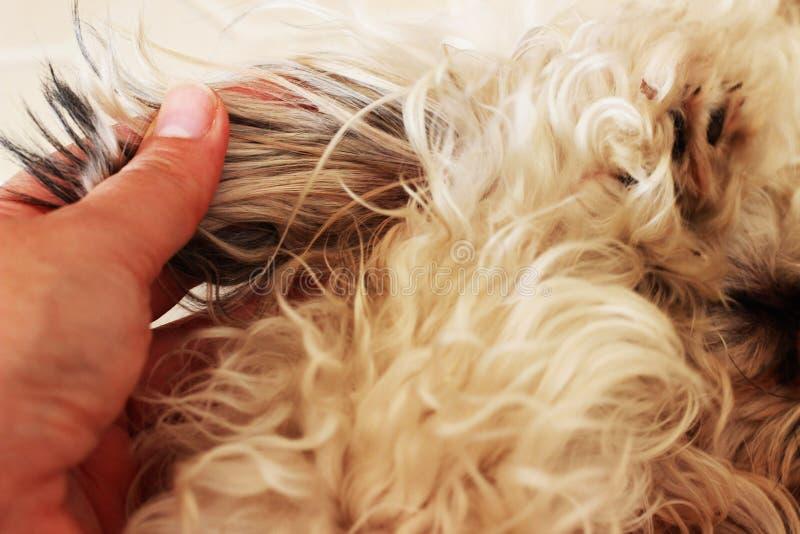I peli grigi di un cane sono aggrovigliati su un cane immagine stock