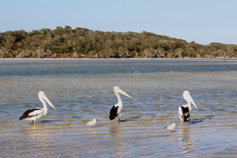 I pellicani ed i gabbiani selvaggi nel mare in Bremer abbaiano, Australia occidentale fotografie stock