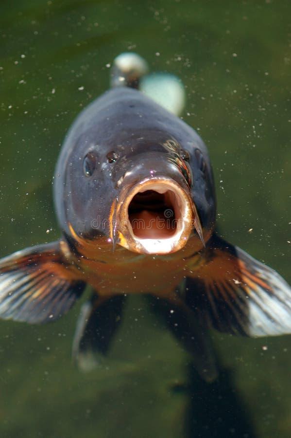 I pesci di Coi aprono la bocca fotografie stock libere da diritti