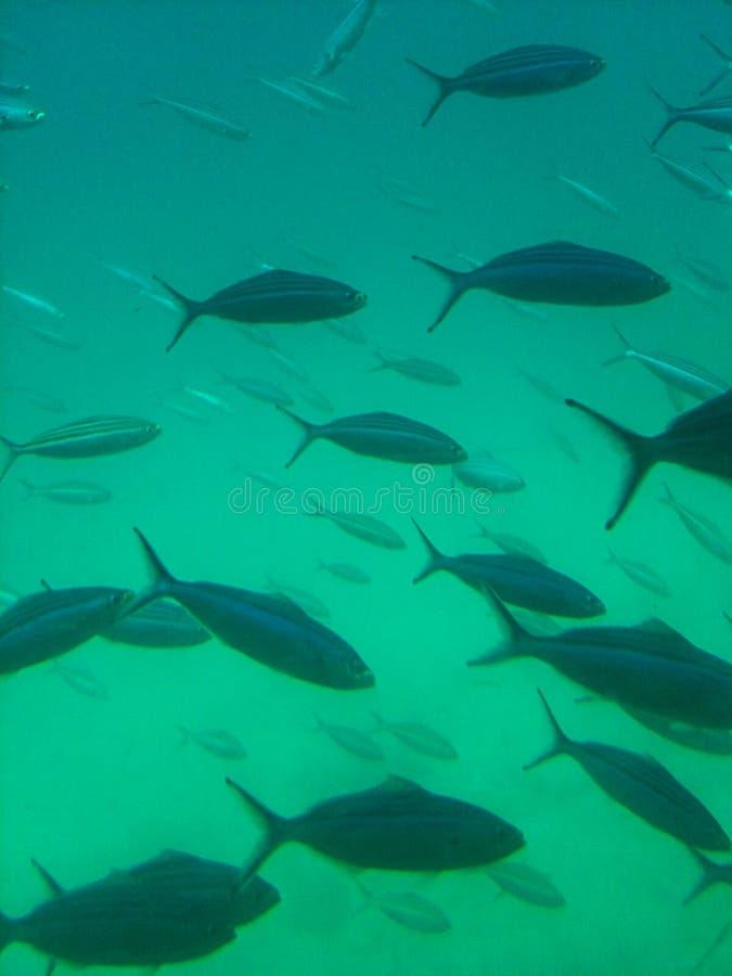 I pesci osservano dal sottomarino immagine stock