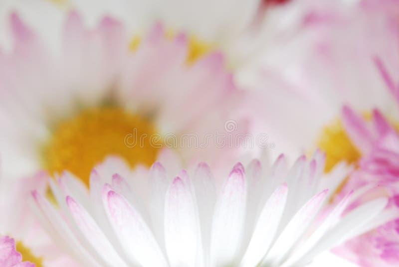 I petali del fiore si chiudono in su immagine stock