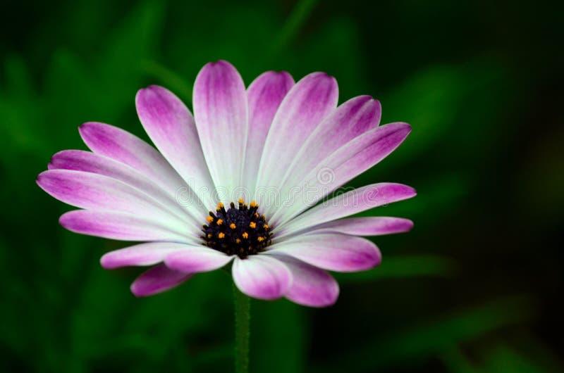 I petali del fiore viola e bianco con gli stami gialli sboccia fotografie stock libere da diritti