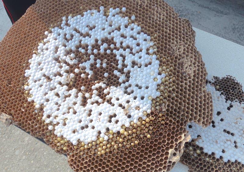 I pettini dell'ape con le uova dell'ape si chiudono su immagine stock
