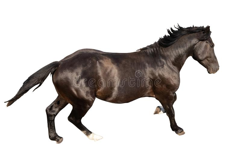 Black beautiful young strong racehorse galloping she is isolated on a white background, farm animal, horse on a white background stock photos