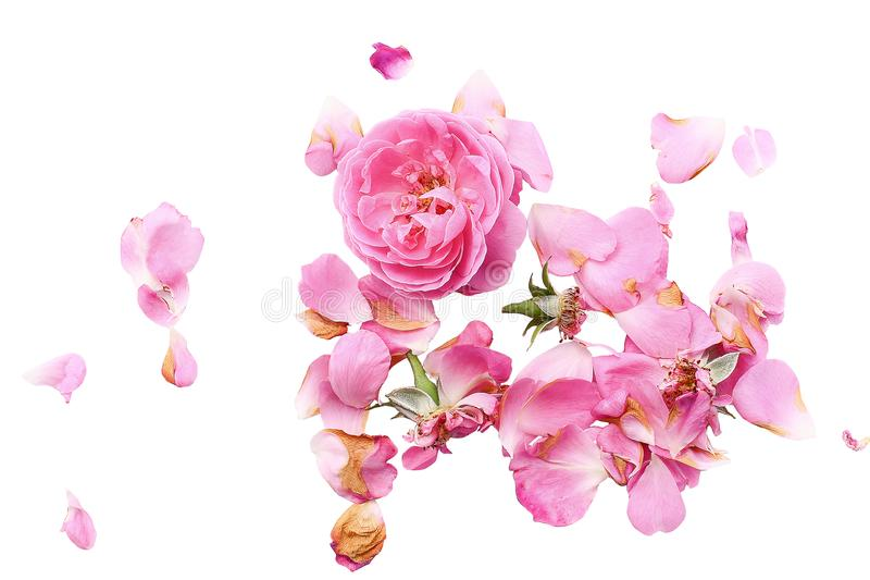 Tender roses on a white background, roses, white background, rose petals royalty free stock image