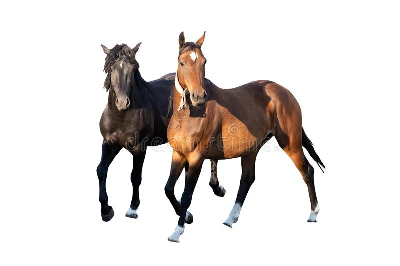 Two beautiful strong young horses black and brown isolated on a white background on a farm, farm animal, wonderful horses stock photography