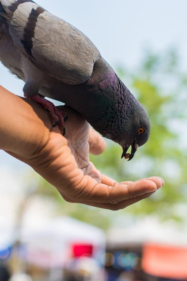 I piccioni addomesticati mangiano l'alimento a disposizione per alimentare la gente fotografia stock