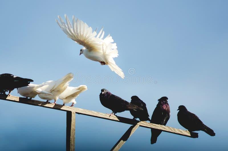 I piccioni di razza stanno sedendo su un palo di legno fotografia stock libera da diritti