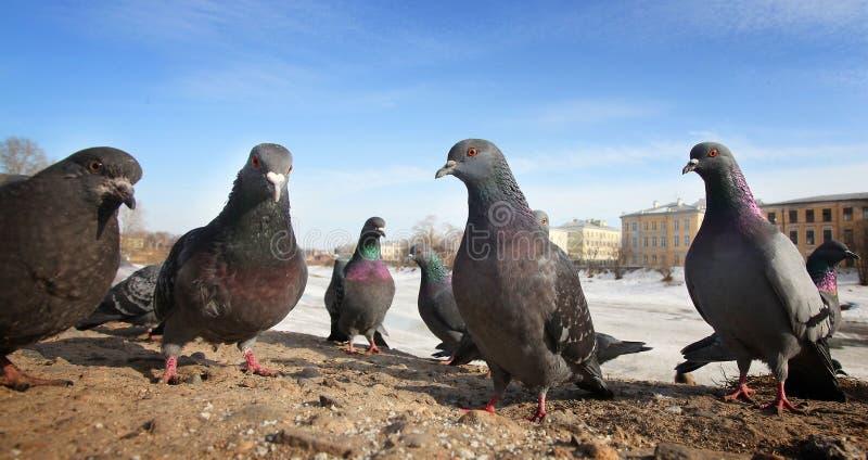 I piccioni esaminano l'obiettivo fotografia stock libera da diritti