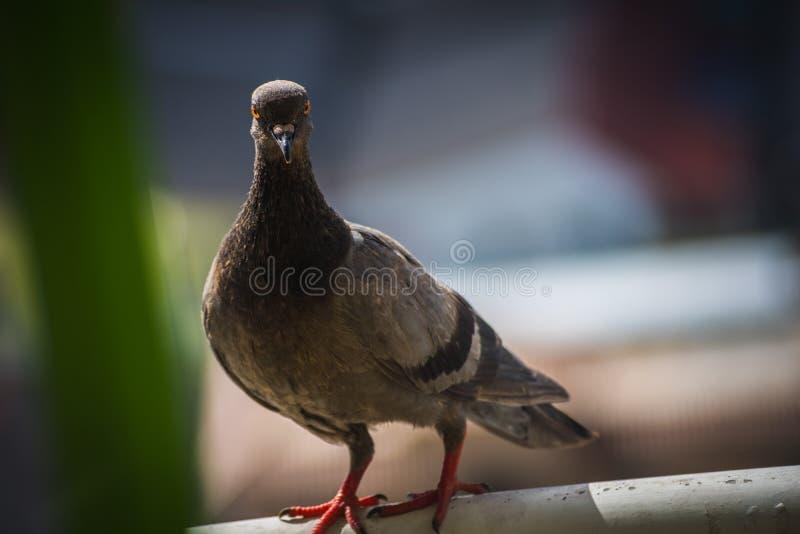 I piccioni grigi stanno soli sul palo con fondo vago immagini stock libere da diritti