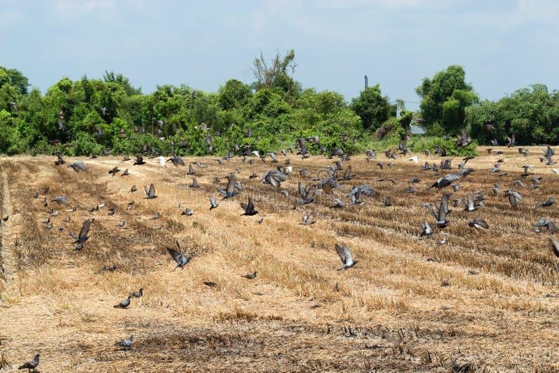 I piccioni mangiano il riso rimasto dal raccolto immagini stock libere da diritti