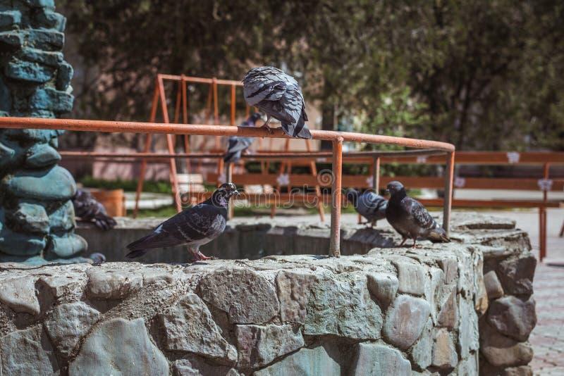 I piccioni stanno sedendo sulla fontana immagini stock libere da diritti