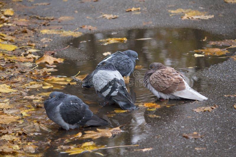 I piccioni stanno sedendo vicino ad una pozza con le foglie cadute fotografie stock