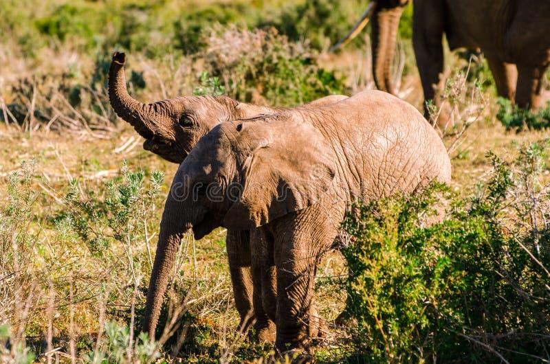 I piccoli elefanti che giocano, elefanti di Addo parcheggiano, turismo del Sudafrica Fotografia della fauna selvatica fotografia stock libera da diritti