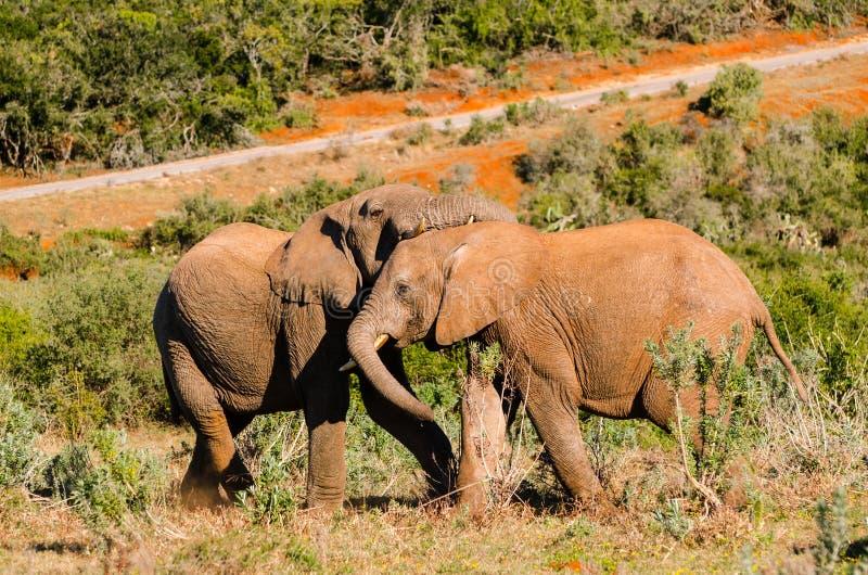 I piccoli elefanti che giocano, elefanti di Addo parcheggiano, turismo del Sudafrica Fotografia della fauna selvatica immagini stock