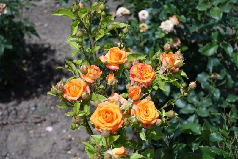 I piccoli fiori arancio di sono aumentato di estate fotografia stock libera da diritti