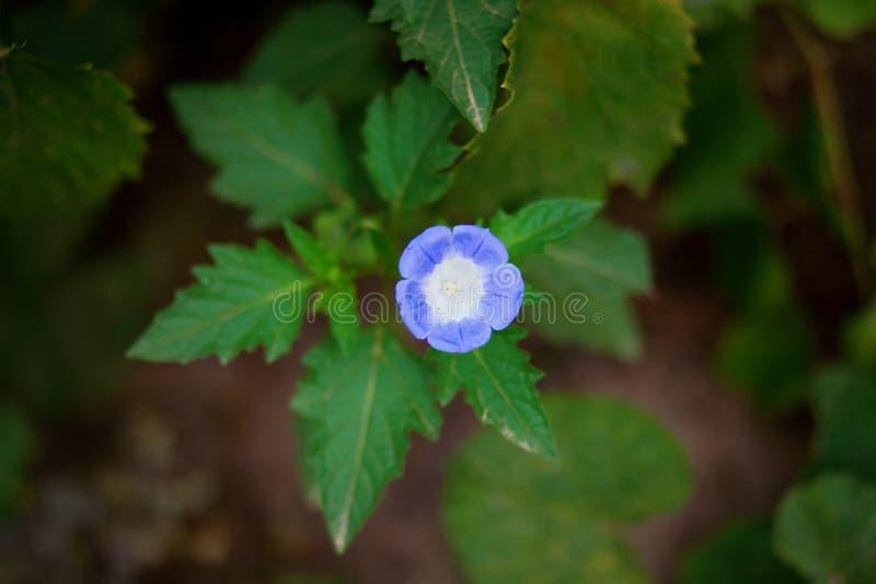 I piccoli fiori bianchi e blu gradiscono una campana immagini stock